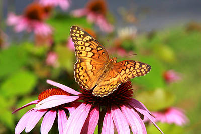 Photograph - Butterfly On Coneflower by Emanuel Tanjala