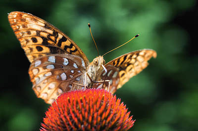 Photograph - Butterfly On Coneflower by Lori Coleman