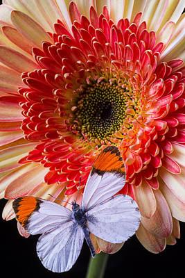 Gerbera Daisy Photograph - Butterfly On Daisy by Garry Gay