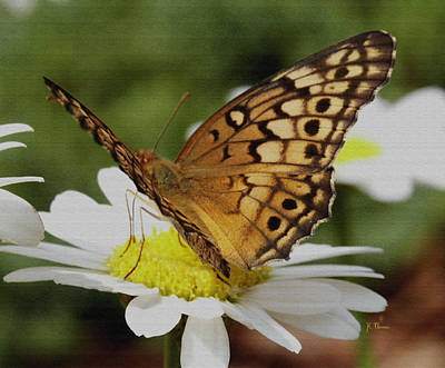 Photograph - Butterfly On Daisy by James C Thomas