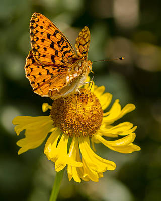 Photograph - Butterfly On Daisy by Steve Thompson