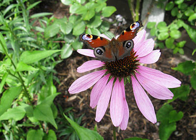 Photograph - Butterfly On Echinacea by Helene U Taylor