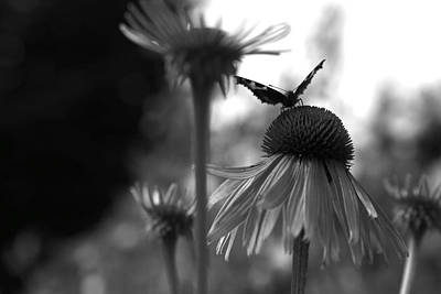 Photograph - Butterfly On Echinacea by Maeve O Connell