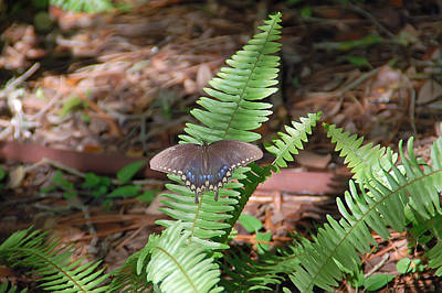 Photograph - Butterfly On Fern by Aimee L Maher ALM GALLERY