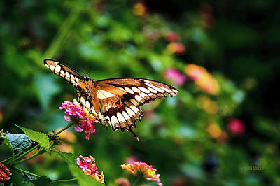 Photograph - Butterfly On Flower by Steven Llorca