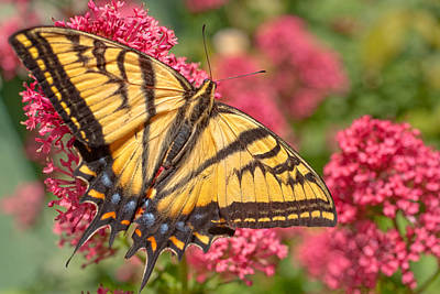 Photograph - Butterfly On Flower by Douglas Pulsipher