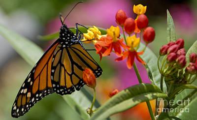 Studio Grafika Zodiac - Butterfly on flowers by Wesley Farnsworth