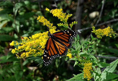 Photograph - Butterfly On Goldenrod by Diane Lent