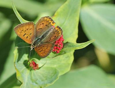 Photograph - Butterfly On Green by Kristy Jeppson