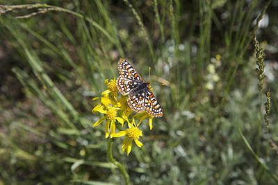 Photograph - Butterfly In Aspen  by Amanda Smith