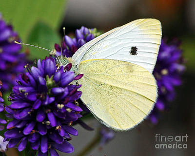 Photograph - Butterfly On Hebe by Chuck Flewelling