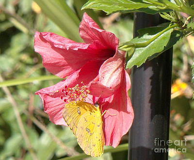 Wall Art - Photograph - Butterfly On Hibiscus by Cybele Chaves