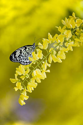 Butterfly On Laburnum Art Print