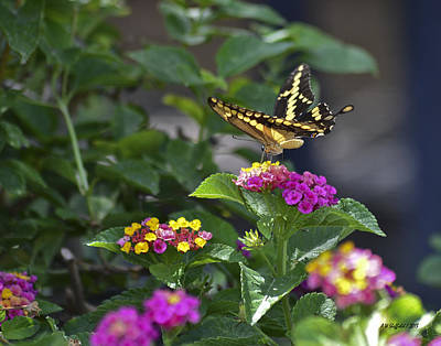 Photograph - Butterfly On Lantana by Allen Sheffield