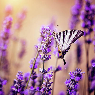 Photograph - Butterfly On Lavender by Artmarie