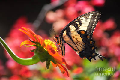Photograph - Butterfly On Orange Sunflower by Jill Lang