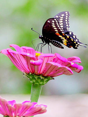 Butterfly On Pink Flower Art Print