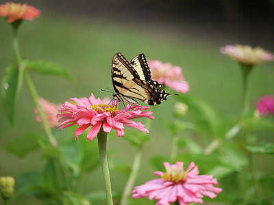 Insect Photograph - Butterfly On Pink Zinnia by Moelyn Photos