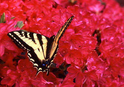 Photograph - Butterfly On Red Azalea by Robert  Rodvik