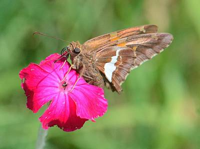 Photograph - Butterfly On Rose Campion by Amy Porter