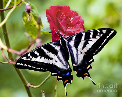 Photograph - Butterfly On Rose by Chuck Flewelling