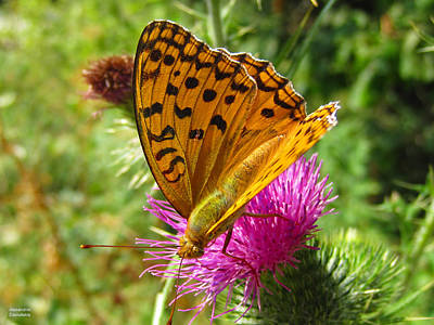 Photograph - Butterfly On Thistle by Alexandros Daskalakis
