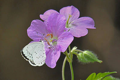 Photograph - Butterfly On Wild Geranium by Alan Lenk