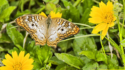 Photograph - Butterfly On Yellow Flower by Don Durfee