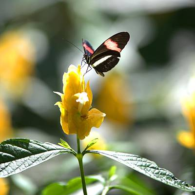 Photograph - Butterfly On Yellow Flower - Square by Gordon Elwell