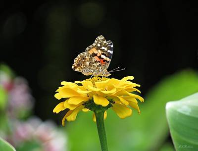 Photograph - Butterfly On Yellow Zinnia by MTBobbins Photography