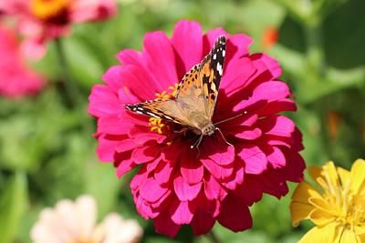 Photograph - Butterfly On Zinnia by Lucinda VanVleck