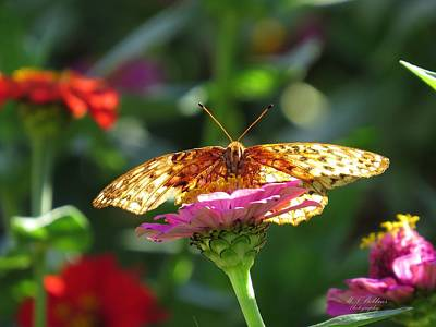 Photograph - Fritillary Butterfly On Zinnia by MTBobbins Photography