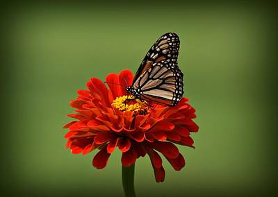 Butterfly On Zinnia Print by Sandy Keeton