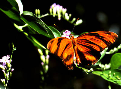 Photograph - Butterfly Orange Tiger by Robert  Rodvik