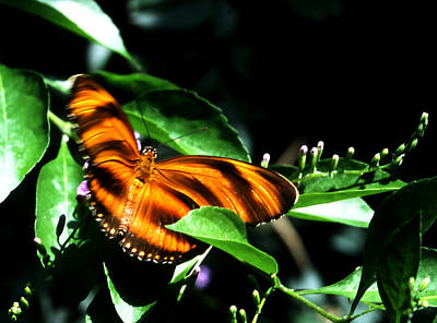 Photograph - Butterfly - Orange Wings by Robert  Rodvik