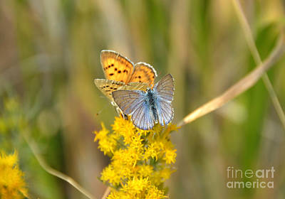 Photograph - Butterfly Pair In Yellowstone by Debra Thompson