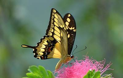 Papilio Thoas Photograph - Butterfly Papilio Thoas Nealces by Michael Lilley