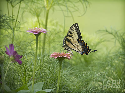Photograph - Butterfly Passion by Cris Hayes