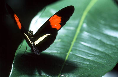 Photograph - Butterfly - Red Splotches by Robert  Rodvik