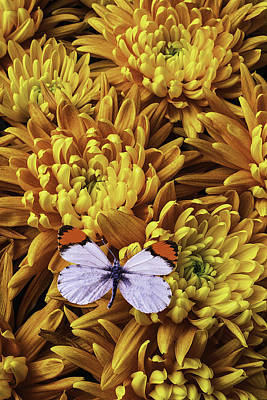 Chrysanthemums Photograph - Butterfly Resting On Mums by Garry Gay