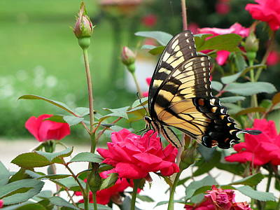 Butterfly Rose Art Print by Greg Simmons