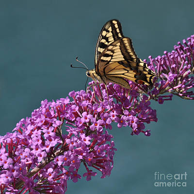 Photograph - Butterfly by Simona Ghidini