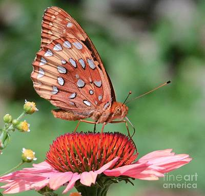 Butterfly Sipping A Coneflower Art Print