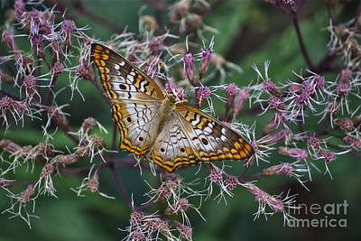 Art Print featuring the photograph Butterfly Soft Landing by Thomas Woolworth