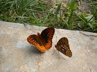 Photograph - Butterfly Spat by Diannah Lynch
