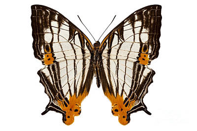 Martini Royalty-Free and Rights-Managed Images - Butterfly species Cyrestis lutea martini by Pablo Romero