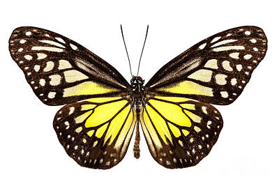 Glassy Wing Photograph - Butterfly Species Parantica Aspasia Common Name Yellow Glassy Ti by Pablo Romero
