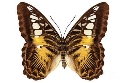 Brown Clipper Photograph - Butterfly Species Parthenos Sylvia  by Pablo Romero