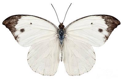 Butterfly Species Pieris Rapae Art Print by Pablo Romero