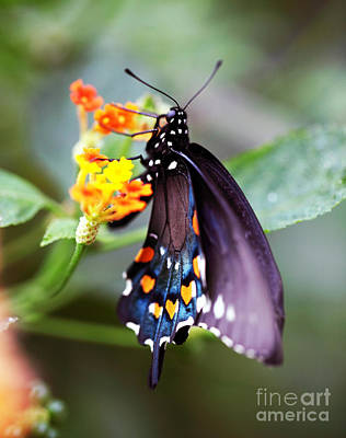 Photograph - Butterfly Spots by John Rizzuto
